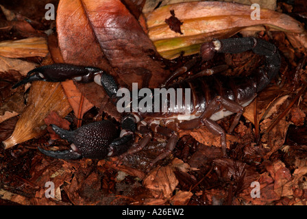 Giant Indian black scorpion Heterometrus swammerdami India - Stock Photo