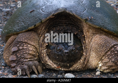 Snapping turtle (Chelydra serpentina) Female in roadside gravel laying eggs. - Stock Photo