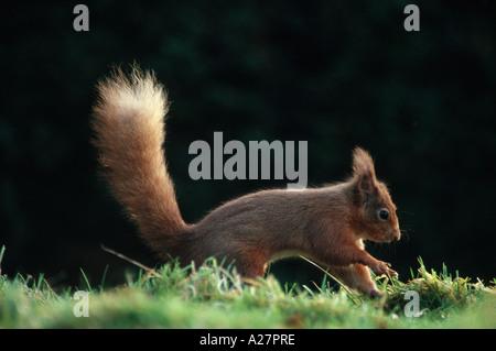 RED SQUIRREL BURYING NUT - Stock Photo