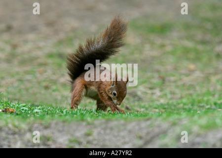 RED SQUIRREL Sciurus vulgaris BURYING NUT IN FOREST FLOOR  OCTOBER - Stock Photo