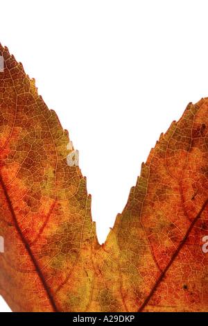 Maple Leaf Detail - Stock Photo
