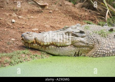 Estuarine Crocodile Crocodylus porosus head close up - Stock Photo