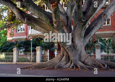 Huge Moreton Bay Fig tree, registered with and protected by the National Trust, growing in street. Perth, Western - Stock Photo
