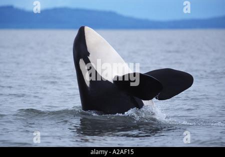 ORCA WHALE KILLER WHALE Orcinus orca BRITISH COLUMBIA CANADA PACIFIC OCEAN. Photo Copyright Brandon Cole - Stock Photo