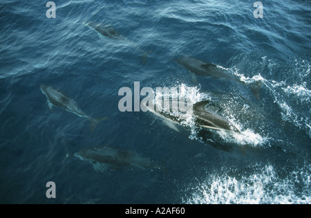 Dusky dolphins off Kaikoura Marlborough South Island New Zealand - Stock Photo