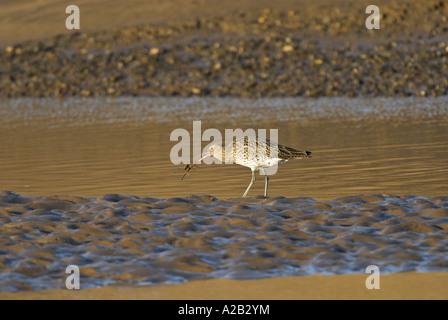 Curlew numenius arquata catching shore crab in tidal estuary Norfolk UK November - Stock Photo