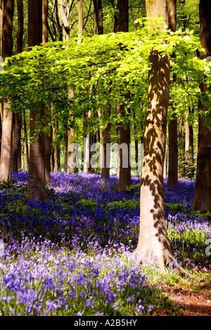 Bluebells, Hyacinthoides non-scripta,  in the Spring at West Woods near Marlborough, Wiltshire, England, UK