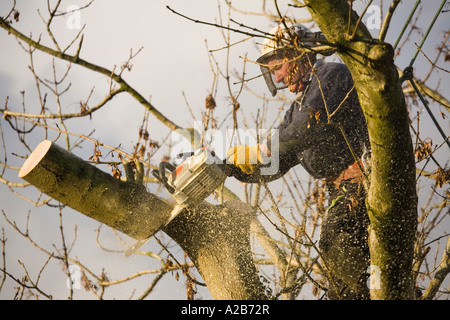 UK Tree surgeon wearing protective gear cutting down an Ash tree using a chainsaw to cut falling branch with sawdust - Stock Photo