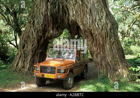 Fourwheeldrive vehicle driving through a hole in giant fig tree, Arusha National Park, Tanzania - Stock Photo
