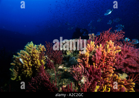 Multicolored gorgonians and sea fans growing on a coral reef with a school of fish swimming in the background. - Stock Photo