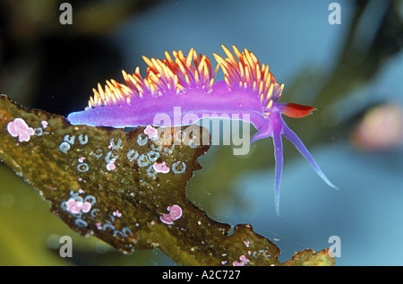 Nudibranch or Spanish Shawl Flabellina iodinea found from the Vancouver Islands to Baja California - Stock Photo