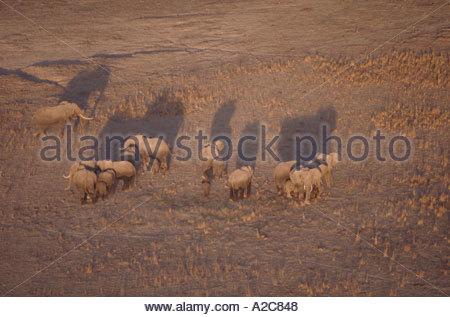 Aerial view of African Elephants loxodonta africana standing on dry grassland Amboseli National Park Kenya - Stock Photo