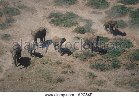Aerial view of African Elephants loxodonta africana walking through dust and dirt Amboseli National Park Kenya - Stock Photo
