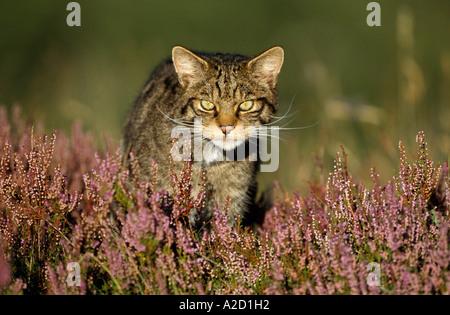 Scottish Wildcat Felis sylvestris Adult pure bred male stalking prey in heather Cairngorms National Park Scotland - Stock Photo