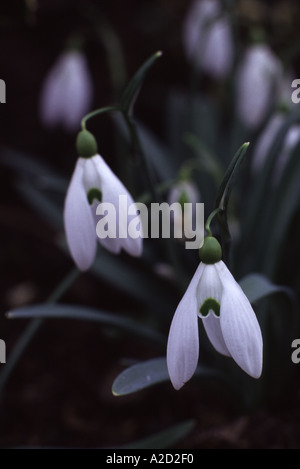 Galanthus Mighty Atom snowdrop - Stock Photo