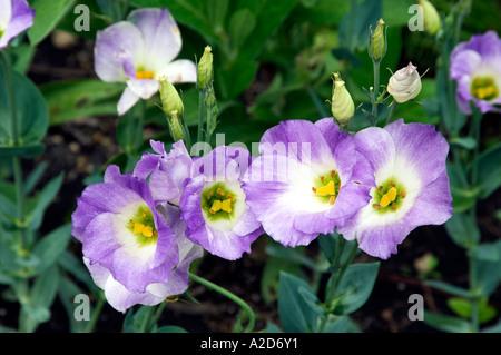 Lisianthus Eustoma grandiflorum Tulip Gentian Texas Bluebell in Assiniboine Park Winnipeg Manitoba Canada - Stock Photo