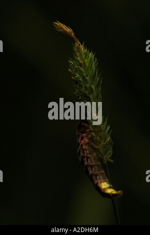 Female glow worm wingless glowing - Stock Photo