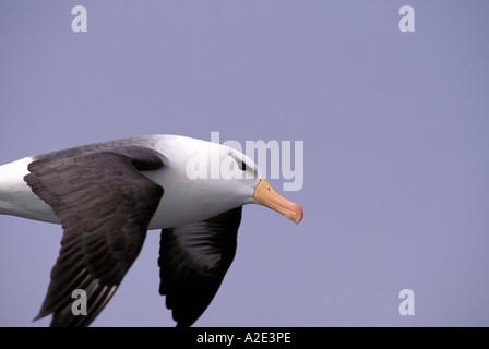 Antarctica, Sub-Antarctic Islands, South Georgia. Black-Browed Albatross close-up - Stock Photo