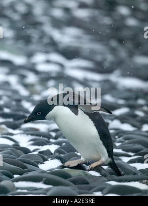 Arctowski Station during a spring snow storm. Just next to a large colony of Adelie Penguins, Antarctica Pennisula - Stock Photo