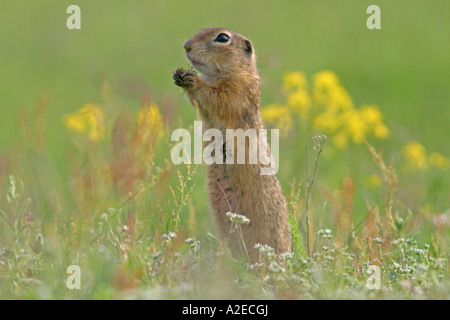 European ground squirrel European suslik European souslik Citellus citellus Spermophilus citellus - Stock Photo