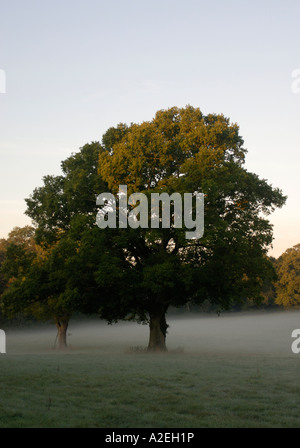 Early morning sunlight catches the top of an oak tree Quercus species standing in a misty field - Stock Photo