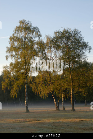 Early morning sunlight catches four silver birch Betula pendula trees standing in a misty field - Stock Photo