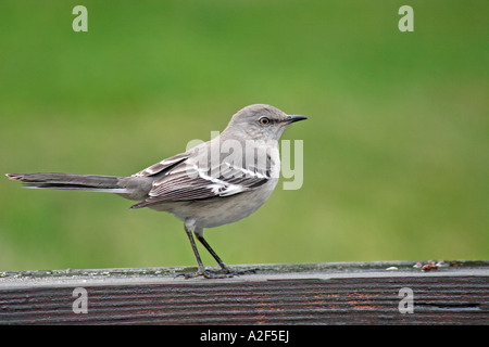 Northern Mockingbird standing on rail in profile - Stock Photo