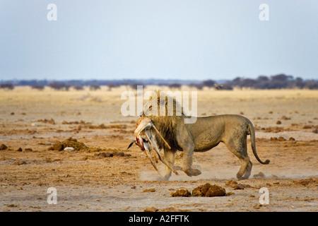 Lion, male (Panthera leo) with a killed springbok, (Antidorcas marsupialis), Nxai Pan, Makgadikgadi Pan National - Stock Photo