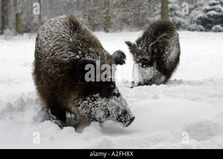 Wild boars in snowcovered winterforest (Sus scrofa) - Stock Photo