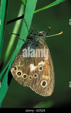 Large Heath Butterfly Coenonynpha tullia UK - Stock Photo