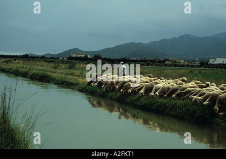 A shepherd waters his flock on a hot summer day from a canal in the Ebro delta catalonia Catalunya Spain - Stock Photo