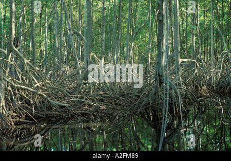 Aerial roots of red mangroves rhizophora spp Nariva Swamp Trinidad - Stock Photo