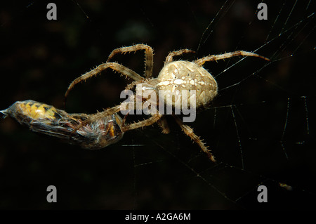 Spider with captured hornet - Stock Photo