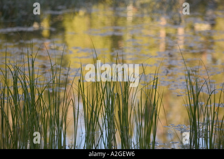 USA, California, Yosemite National Park: Siesta Lake (off Tioga Road) Morning Light, Grasses & Reflections - Stock Photo