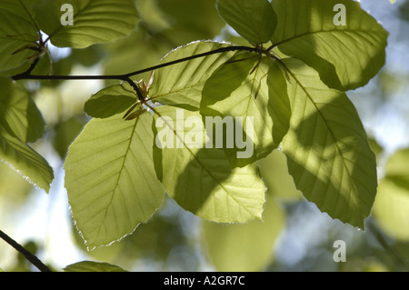 Young beech leaves Fagus sylvatica with sunlight shining through them in spring - Stock Photo