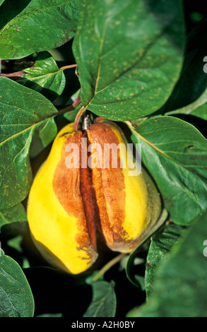 how to use quince fruit
