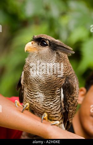 Malay barred Eagle owl at Kuala Lumpur, Malaysia - Stock Photo