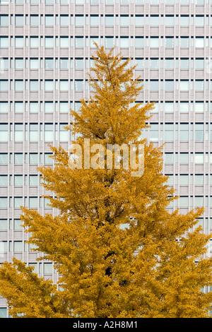 Japan, Tokyo, Maple tree and office building, Marunouchi - Stock Photo