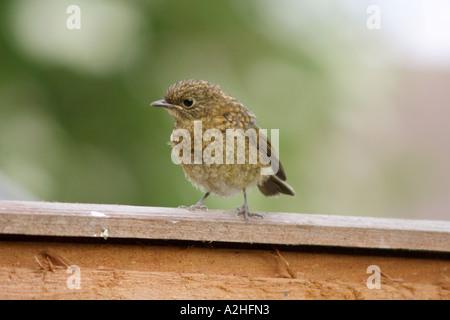 Robin, Erithacus rubecula, fledgling on garden fence, UK - Stock Photo