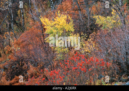 Forest underbrush turning red orange and yellow in fall near Steamboat Springs Colorado USA - Stock Photo