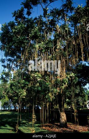 Sarasota Florida John & Mable Ringling Art Museum, banyan tree - Stock Photo