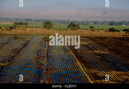 Africa, Egypt, Luxor, Aerial view of sugar cane fields on the West Bank where the fertile farm land meets the desert - Stock Photo