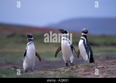 Antarctica, Sub-Antarctic Islands, South Georgia. Magellanic Penguins - Stock Photo
