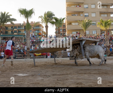 mad bull chasing man during the annual festival of Benicarlo Spain - Stock Photo