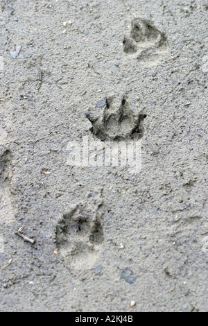 track of a fox vulpes vulpes above below and a raccoon dog Nyctereutes procynoides middle - Stock Photo