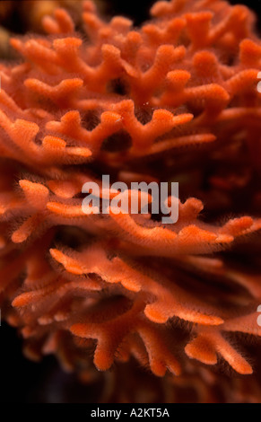 orange bryozoans, Pentapora fascialis - Stock Photo