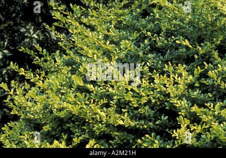 Japanese Holly (Ilex crenata Golden Gem), Aquifoliaceae Stock ...