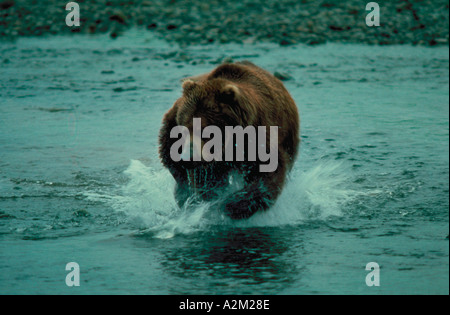A Brown Bear Ursus arctos splashing water as he charges through a creek - Stock Photo