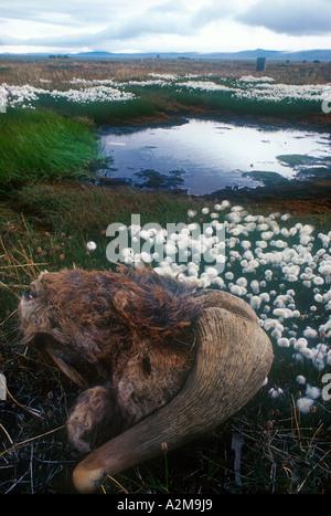 Russia's Far East - Wrangel Island. The head of a dead Musk Ox lying near a pond on Wrangel Island. - Stock Photo