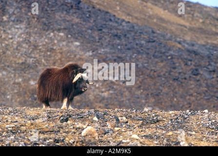 Russia's Far East - Wrangel Island. Musk Ox. - Stock Photo